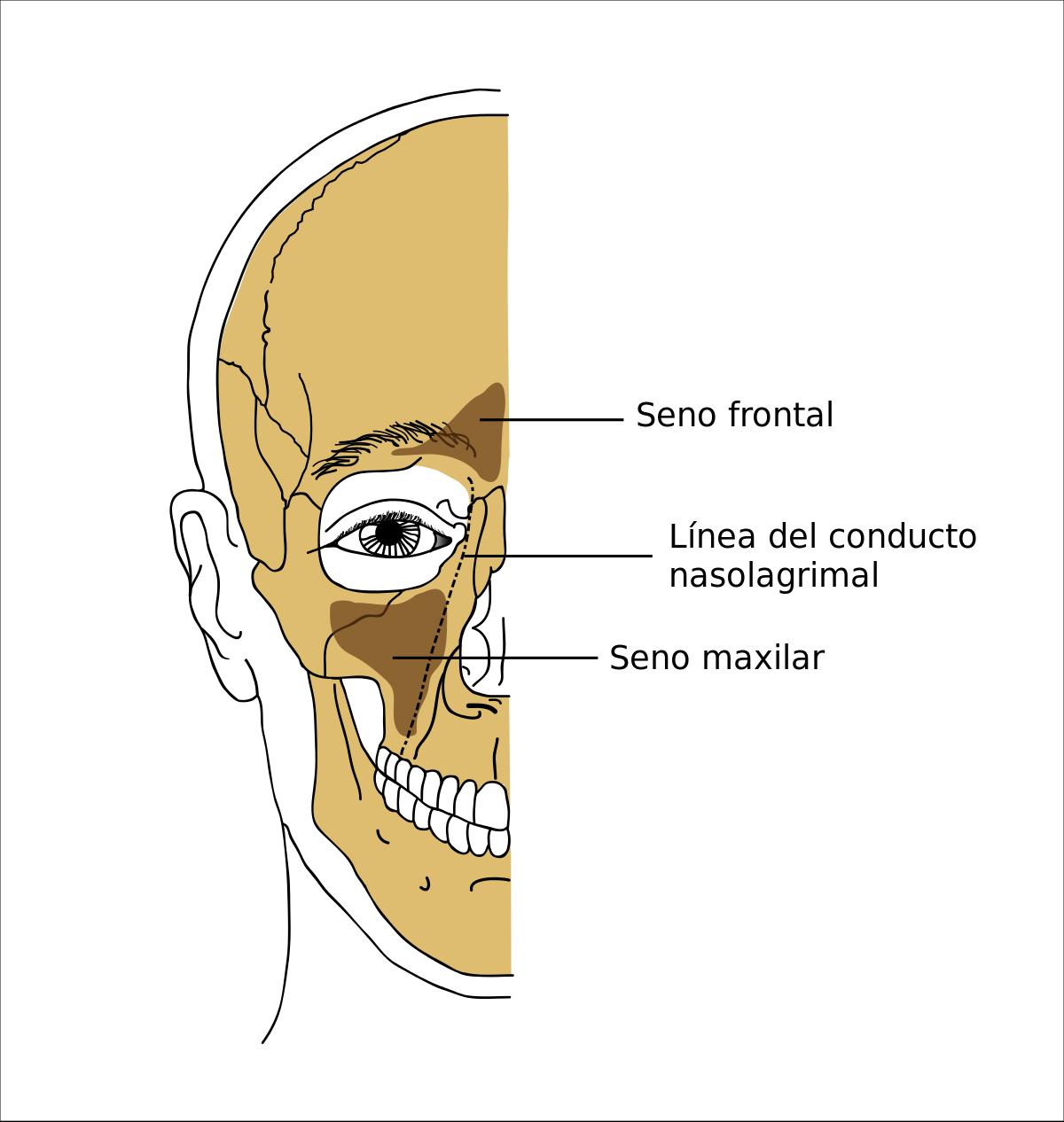 seno maxilar